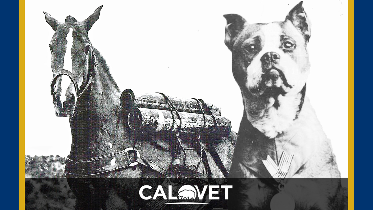 Two photos of the purple heart heros, horse Sergeant Reckless and dog Sergeant Stubby